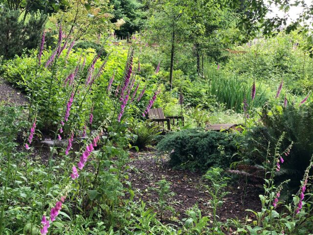 Foxgloves on a forest path